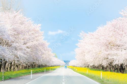 Foto op Canvas Kersen 桜と菜の花が咲く道