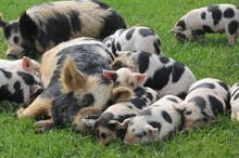 Two Familes Of Kune Kune Pigs ...