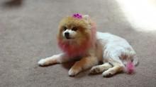 Pomeranian Styled To Look Like...