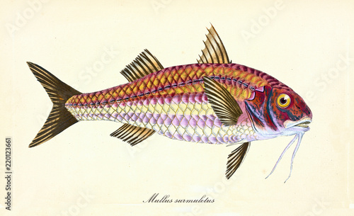Fototapeta Ancient colorful illustration of Striped Red Mullet (Mullus surmuletus), side view of the big fish with a yellow eye and red face, isolated element on white background