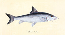 Ancient Colorful Illustration Of Common Barbel (Barbus Barbus), Side View Of The Fish With Its Silvery Skin, Isolated Element On White Background. By Edward Donovan. London 1802