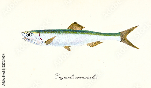 Photo Ancient colorful illustration of European anchovy (Engraulis encrasicolus), side view of the fish with its silvery and green skin, isolated element on white background
