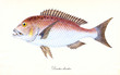 Ancient colorful illustration of Common Dentex (Dentex dentexs), Side view of the  fish with its typical reddish and white skin, isolated element on white background. By Edward Donovan. London 1802