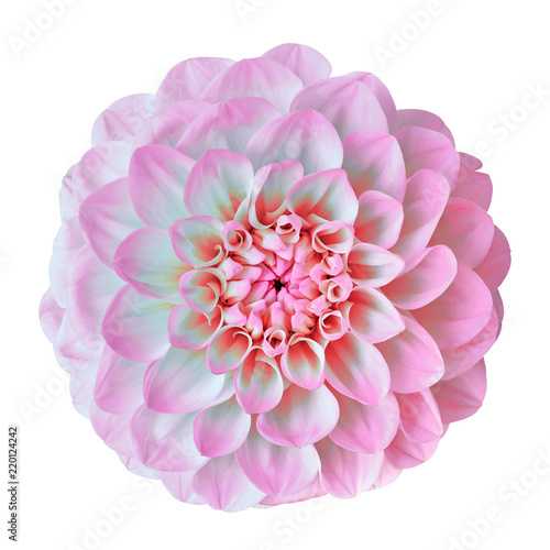 flower pink white dahlia isolated on white background. Close-up. Element of design. Nature.