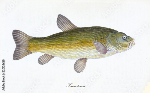 Valokuva  Ancient colorful illustration of Tench (Tinca tinca), side view of the big fish with its yellow skin with little green tone, isolated element on white background