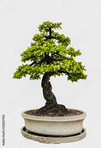 Deurstickers Bonsai Bonsai tree isolated on white background.