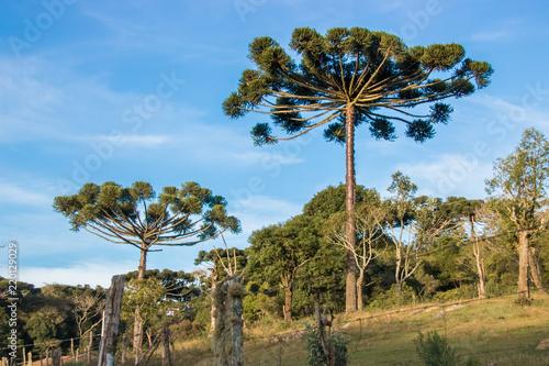 Árvore Araucária em dia de sol em área rural Wallpaper Mural