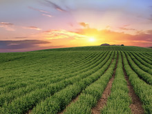 Basil Crops At Sunrise. Dipsacum (Teasel) Flower In Coriano, Emilia Romagna Countryside, Italy