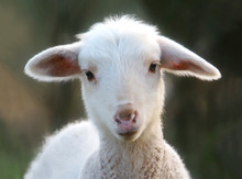 Portrait Of A Cute Lamb In The Nature