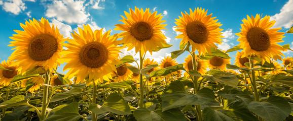 Blooming sunflower crop field