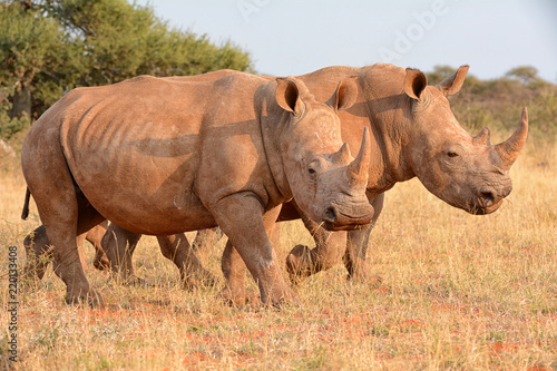 Fotografia, Obraz  White Rhinos Walking