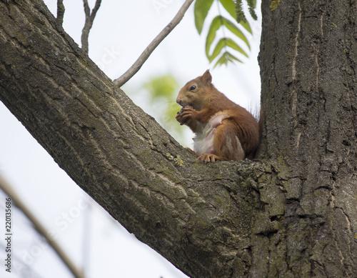 Zdjęcie XXL wiewiórka