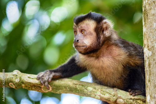 Black capuchin monkey on the trees of the Brazilian rain forest Tablou Canvas