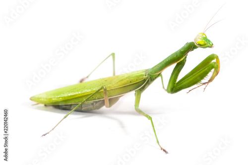 Obraz na plátně  European Mantis or Praying Mantis, Mantis religiosa, on isolated white backgroun