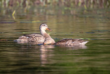 Two Blue Winged Teal Ducks Swi...