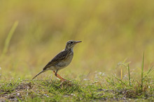 Paddyfield Pipit - Anthus Rufulus, Small Ground Perching Bird From Sri Lanka Grasslands And Fields.