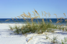 Ripe Sea Oats Grace Pensacola,...
