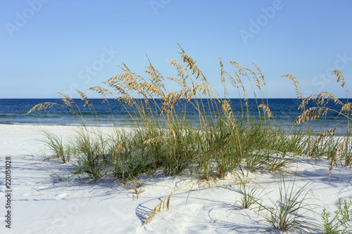 Photo Ripe Sea Oats grace Pensacola, Florida's dazzling white beaches on the Gulf of Mexico each summer