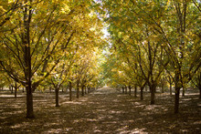 Colorful Pecan Orchard In Autumn