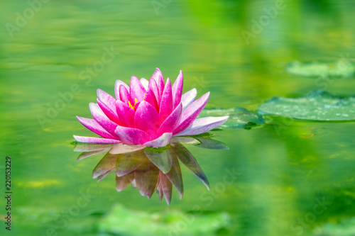 Fotomural Water lily flower blooming in water