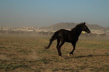 wild horse herds running in the reed, kayseri, turkey