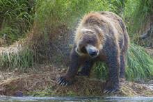 Big Brown Bear Shaking Off Water