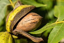 Pecan Nut Viewed Fron The Side Inside A Husk