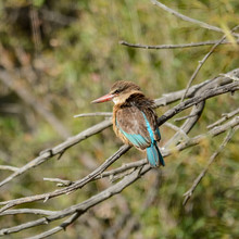 Brown-hooded Kingfisher 2