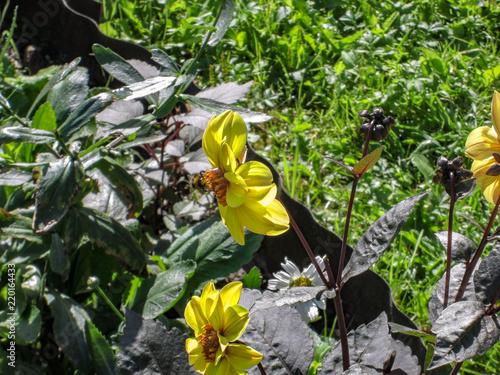 Bumble bee on big yellow flower