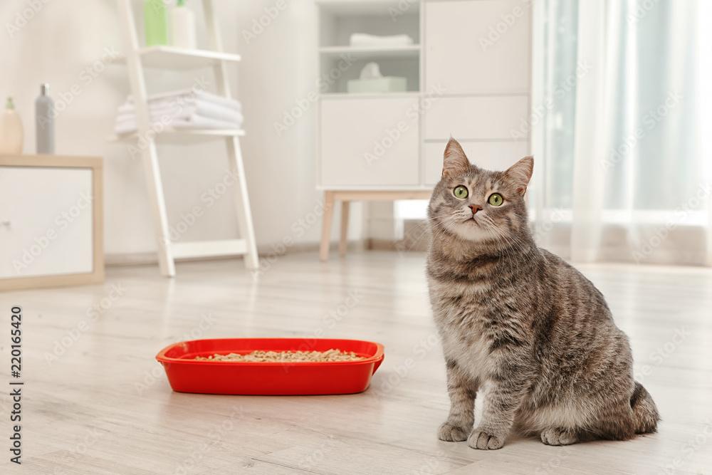 Fototapeta Adorable grey cat near litter box indoors. Pet care