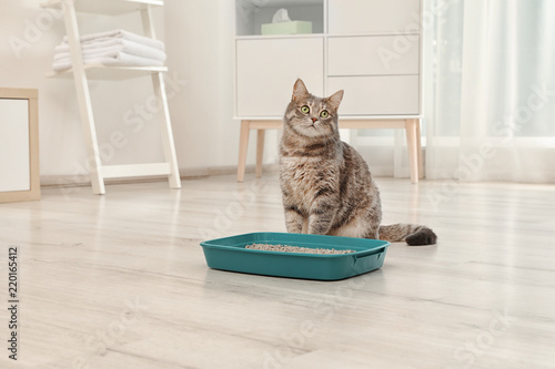 Adorable grey cat near litter box indoors. Pet care