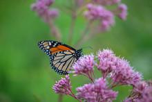 Monarch Butterfly On Joe Pye W...