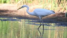 Great White Heron Walks Through The Water In Search Of Food