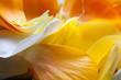 Orangene und weiße Tulpe Blüte