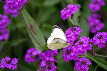 Pieris Brassicae, White Big Butterfly Close-up Sits On A Plant Verbena Rigida,slender Vervain,tuberous Vervain,  Lilac Bright Flower On A Background Of Green Leaves,daylight