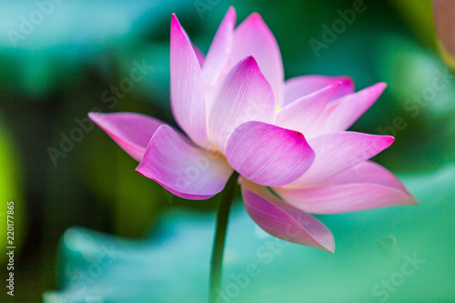 Foto op Canvas Lotusbloem Beautiful Da Helian lotus in Tode Park taipei taiwan