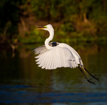Flying Great White Egret In Florida.CR2