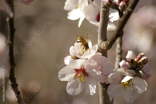 Valokuvatapetti close up of a working honey bee cross pollinating white almond blossoms on a tre