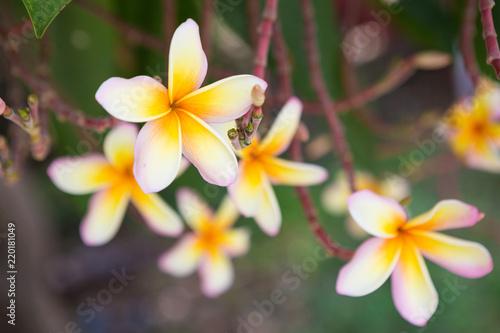 Deurstickers Frangipani Plumeria flowers