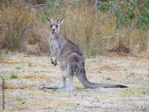Spoed Foto op Canvas Kangoeroe Kangaroo in the bush