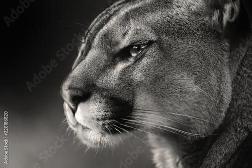 Fototapeta premium Czarno biała twarz American puma, cougar