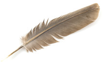 Close-up Of Brown Feather Isol...