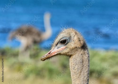 Poster Struisvogel Ostrich Portrait
