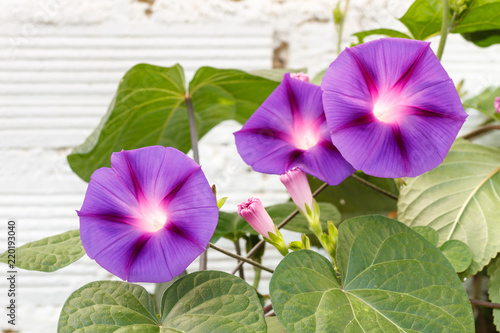 Planta con flores de Ipomoea purpurea Wallpaper Mural