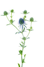 Blue Eryngo Flower Isolated On...