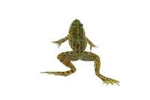 Common Green Frog Isolated On ...