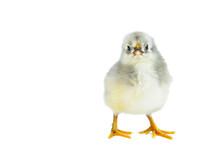 Tiny Gray Chicken
