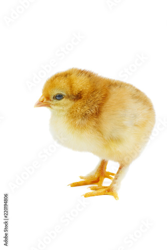 Tiny yellow-brown chicken