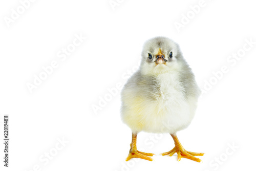 Keuken foto achterwand Kip Tiny gray chicken