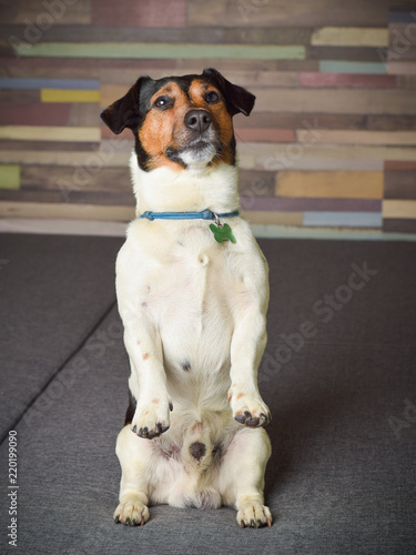 Fotografie, Obraz  Lovely dog of the breed Jack Russell Terrier sitting on the hind legs